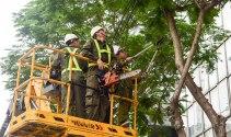 Cắt tỉa cây xanh đô thị phải đảm bảo an toàn mùa mưa bão